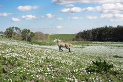 Beau poney irlandais dans un domaine Photographie stock