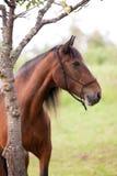 Beau portrait andalou de cheval images stock