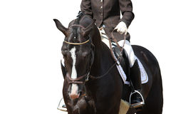 Beau portrait brun de cheval de sport d'isolement Photo stock