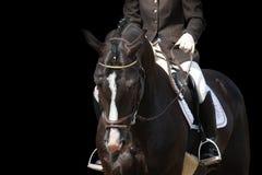Beau portrait brun de cheval de sport d'isolement sur le noir Images stock