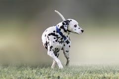 Beau portrait d'un chien dalmatien Photos stock