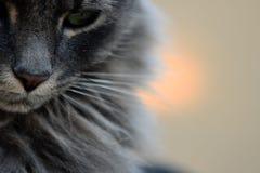 Beau portrait de chat au coucher du soleil photos libres de droits
