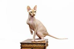 Beau portrait de chat de sphynx sur le fond blanc Photographie stock