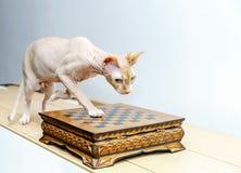 Beau portrait de chat de sphynx sur le fond blanc Photo libre de droits