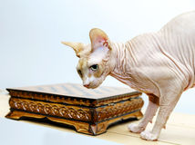 Beau portrait de chat de sphynx sur le fond blanc Image stock