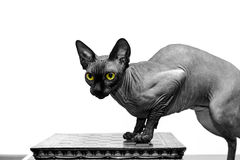Beau portrait de chat de sphynx sur le fond blanc Photos stock