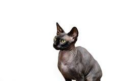 Beau portrait de chat de sphynx sur le fond blanc Photographie stock libre de droits
