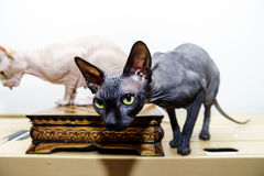 Beau portrait de chat de sphynx sur le fond blanc Images stock