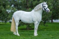 Beau portrait de cheval blanc à la verdure d'agaist de pâturage Photographie stock