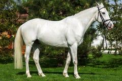 Beau portrait de cheval blanc à la verdure d'agaist de pâturage Images stock