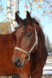 Beau portrait de cheval de baie en automne Photo libre de droits