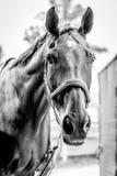 Beau portrait de cheval en noir et blanc photo libre de droits