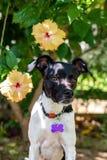 Beau portrait de ressort du chien noir adorable de Terrier de Brésilien en parc de floraison, fleur rose de ketmie sur le backgro photos stock