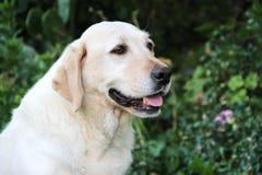 Beau portrait du chien blanc de Labrador dans le jardin Image stock