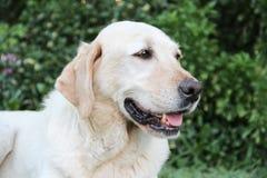 Beau portrait du chien blanc de Labrador dans le jardin Photographie stock