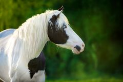 Beau portrait pie de cheval Photos libres de droits