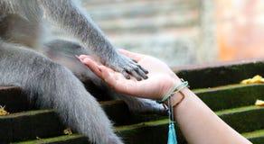 Beau portrait unique de singe tenant la main de personne à la forêt de singes dans Bali Indonésie, animal assez sauvage photos libres de droits