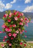 Beau pot de fleurs avec le mandevilla rouge et rose dans le Bavarois Images libres de droits