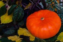Beau potiron lumineux dans un grand choix des feuilles multicolores, pour la décoration et le dîner de fête photos stock