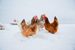 Beau poulet lumineux dans la neige Images stock