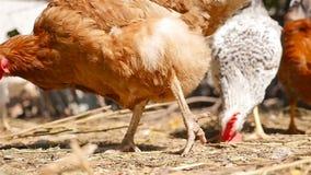Beau poulet mangeant le grain clips vidéos