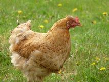 Beau poulet sur la pelouse Photographie stock libre de droits