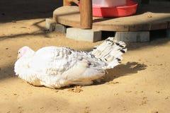 Beau poulet sur le fond de nature photo libre de droits