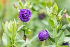 Beau pourpre de Rose dans le jardin Fond de nature Photo stock
