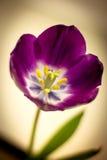 Beau pourpre de tulipe de gradient Image stock