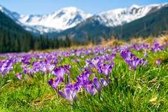 Beau pré avec les crocus pourpres de floraison sur le fond snowcaped de montagnes Photographie stock libre de droits