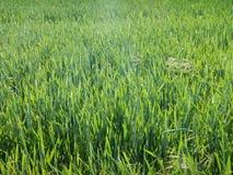 Beau pré avec une herbe verte Photos libres de droits