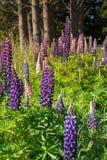 Beau pré pourpre de fleur de lupins Image libre de droits