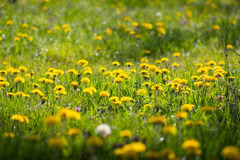 Beau pré ensoleillé de ressort complètement de la fleur jaune bl de pissenlit Images stock