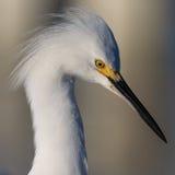 Beau profil de héron de blanc neigeux en Floride Image libre de droits