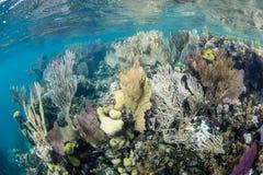 Beau récif coralien en mer des Caraïbes Images libres de droits