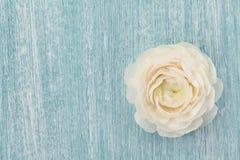 Beau ranunculus sur le fond minable bleu, fleur de ressort, carte de vintage Photos stock