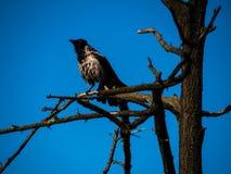 Beau Raven noir se tenant sur une branche Photographie stock
