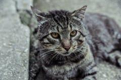 Beau refroidissement argenté de chat Photo libre de droits