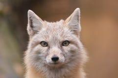 Beau renard Image libre de droits