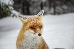 Beau renard rouge sauvage dans la neige, dans les montagnes image stock