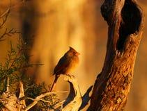 Beau repos cardinal en soleil de fin de soirée Photo stock