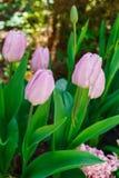 Beau ressort, tulipes roses plantées en parc de ville photos libres de droits