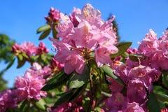 Beau rhododendron rose Images libres de droits
