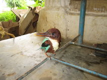 BEAU ROI FISHER BIRD Photos libres de droits