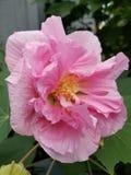 Beau rose Image libre de droits