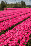 Beau rose Photo stock