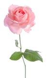 Beau rose-clair frais s'est levé Images stock
