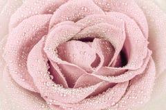 Beau rose-clair s'est levé Image libre de droits