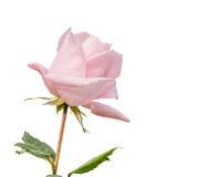 Beau rose-clair s'est levé dans un jardin Images stock