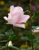 Beau rose-clair s'est levé dans un jardin Photos libres de droits